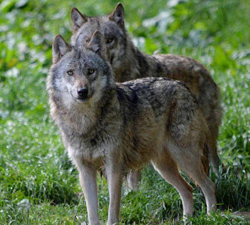 LANUV bestätigt weiteren Wolfsnachweis in der Städteregion Aachen