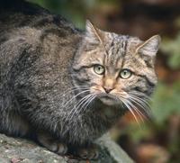Wildkatze © Peter Schütz