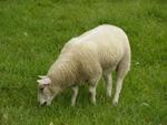 grasendes Schaf