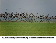 Bild eines auffliegenden Vogelschwarms über einem Feld; Quelle: Naturparkverwaltung Niederlausitzer Landrücken