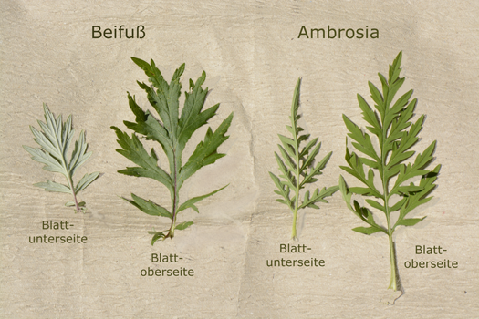 Beifuß- und Ambrosia-Blätter