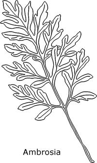 Ambrosia Blatt