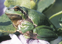 Laubfrosch auf Stockrosenblatt, © Arno Geiger